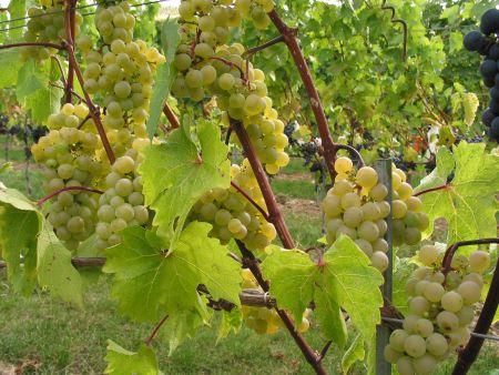Bianca, resistente ungarische Traubensorte