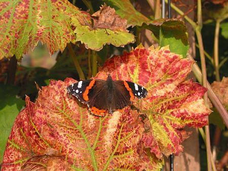 Schmetterling auf Rebenblatt