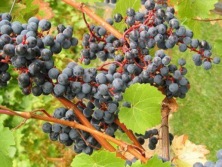 Traubensorte VB Cal 1-36